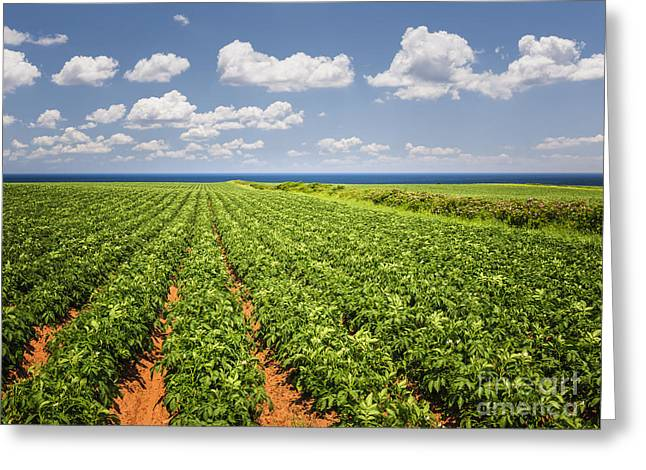 Growing Water Greeting Cards - Potato field in Prince Edward Island Greeting Card by Elena Elisseeva
