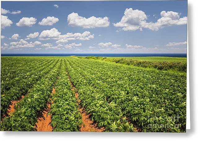 Potato Greeting Cards - Potato field in Prince Edward Island Greeting Card by Elena Elisseeva