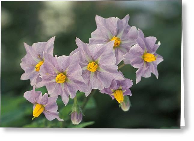 Purple Robe Photographs Greeting Cards - Potato Flowers Greeting Card by Tracey Harrington-Simpson