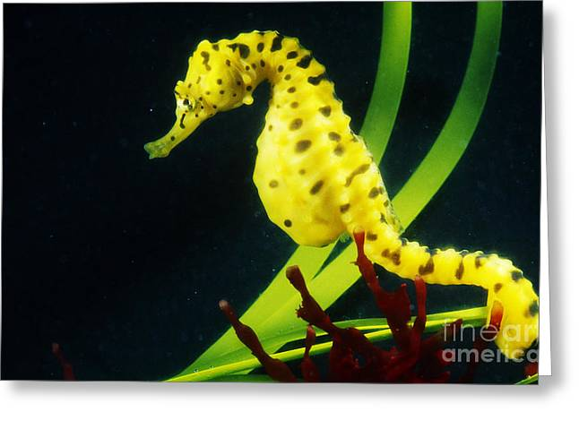 Sea Horse Greeting Cards - Potbellied Seahorse Greeting Card by Gregory G. Dimijian