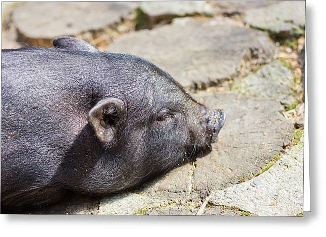 Lifestock Greeting Cards - Potbelly Pig Greeting Card by Pati Photography