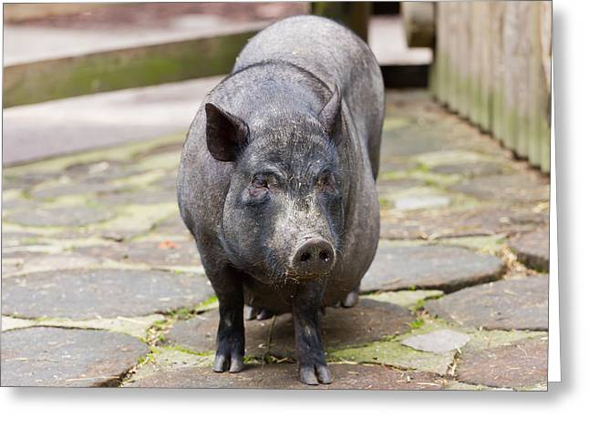 Lifestock Greeting Cards - Potbelly Pig Standing Greeting Card by Pati Photography