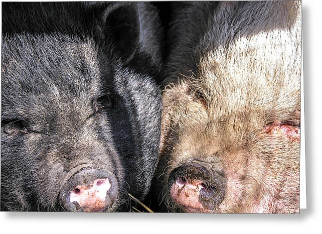 Potbelly Pig Greeting Cards - Potbelly Pigs Greeting Card by Sherman Perry
