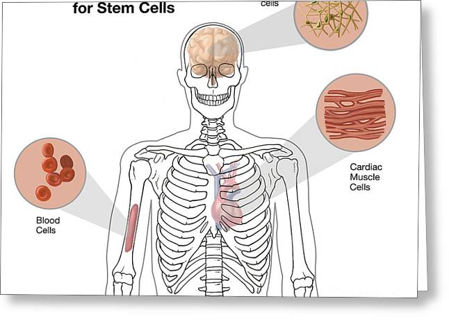 Breakthrough Greeting Cards - Potential Uses For Stem Cells Greeting Card by Spencer Sutton