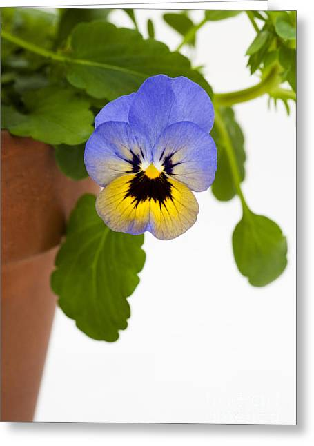 Johnny Jump Up Pansy Greeting Cards - Potted Marlies Greeting Card by Anne Gilbert