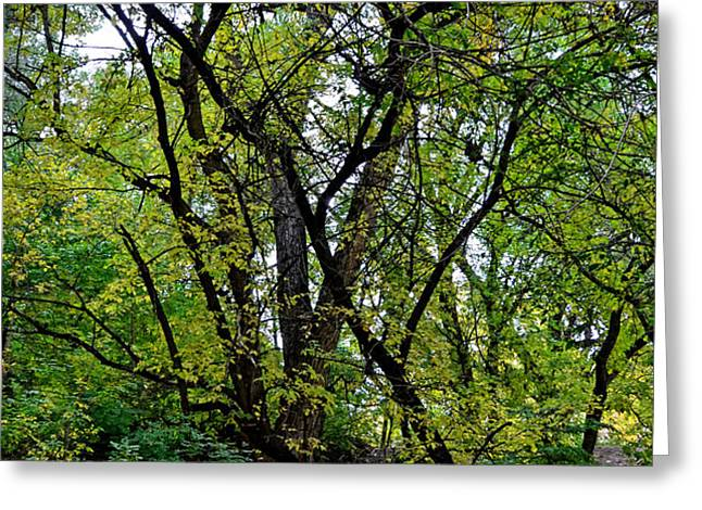 Poudre Trees Greeting Card by Baywest Imaging