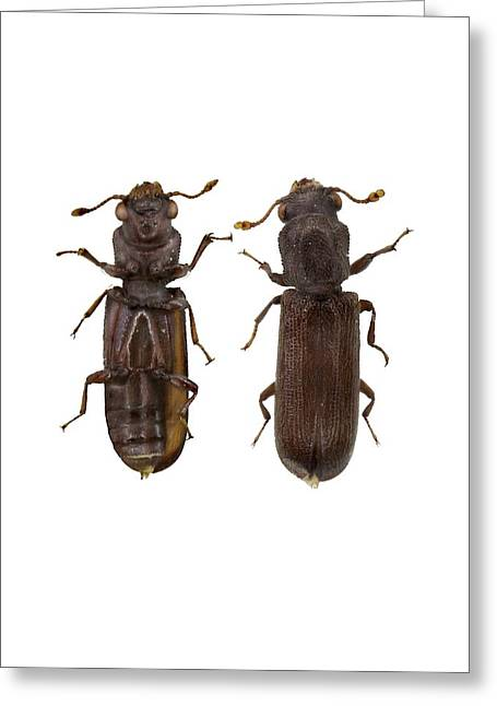 Powder Post Beetle Greeting Card by F. Martinez Clavel