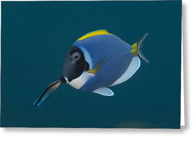 Acanthuridae Greeting Cards - Powderblue surgeonfish with wrasse Greeting Card by Science Photo Library