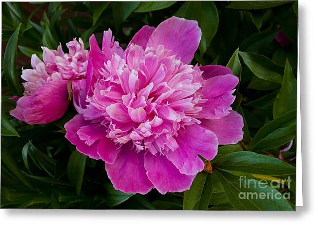 Powder Greeting Cards - Powderpuff Peony Greeting Card by Lena Auxier