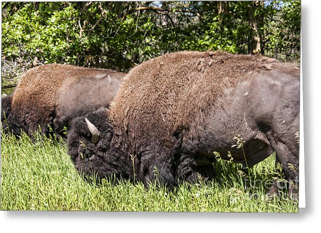 Little Big Horn Photographs Greeting Cards - Powerful Bison Greeting Card by Brenda Kean