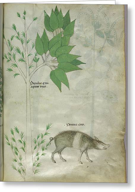 Pplant And A Boar Greeting Card by British Library