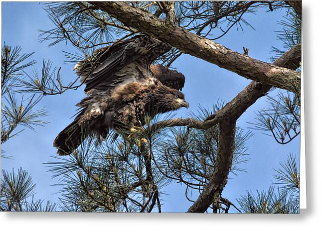 Eaglet Greeting Cards - Practicing for Take Off Greeting Card by Jai Johnson