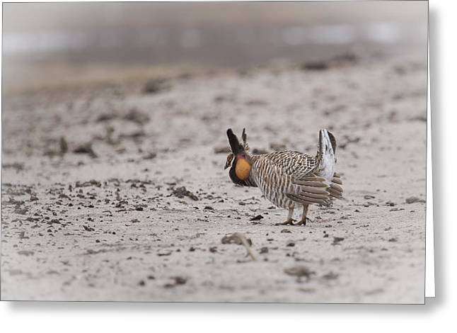 Prairie Chicken Greeting Cards - Prairie Chicken 2013-1  Greeting Card by Thomas Young