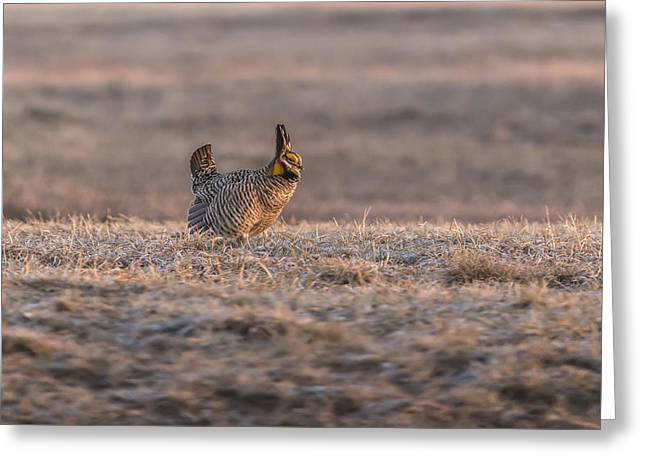 Prairie Chicken Greeting Cards - Prairie Chicken 2013-10 Greeting Card by Thomas Young