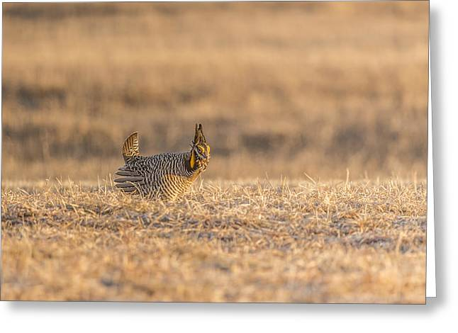 Prairie Chickens Greeting Cards - Prairie Chicken 2013-12.jpg Greeting Card by Thomas Young