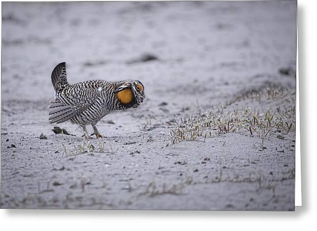 Prairie Chickens Greeting Cards - Prairie Chicken 2013-2 Greeting Card by Thomas Young