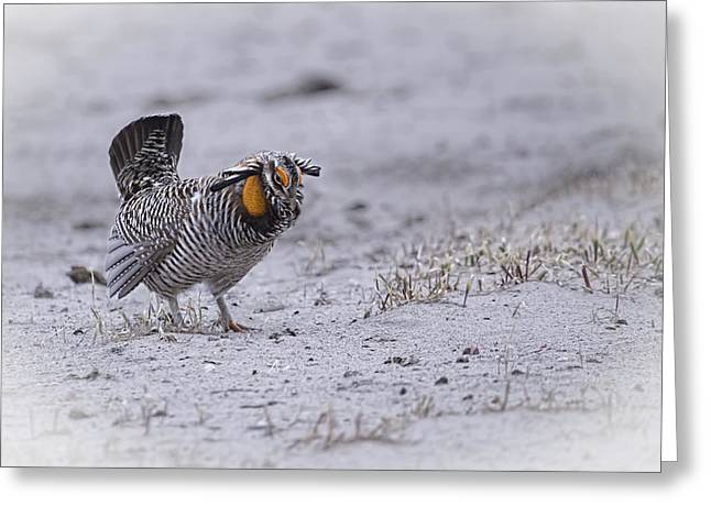 Prairie Chicken Greeting Cards - Prairie Chicken 2013-3 Greeting Card by Thomas Young