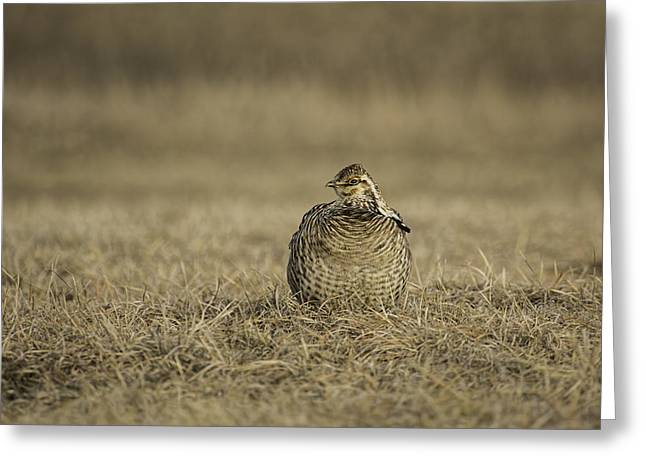 Prairie Chickens Greeting Cards - Prairie Chicken 2013-5 Greeting Card by Thomas Young