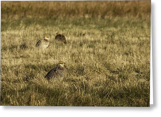 Prairie Chickens after the Boom Greeting Card by Thomas Young