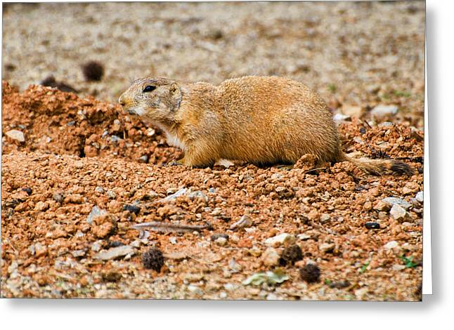 Dog Images Greeting Cards - Prairie dog at edge of den  Greeting Card by Chris Flees