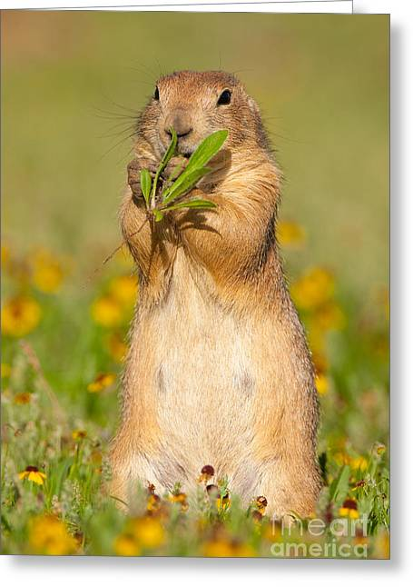 Sneezeweed Greeting Cards - Prairie Dog Eats Plants Greeting Card by Marie Read