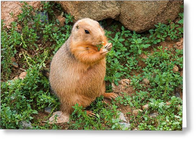 Dog Images Greeting Cards - Prairie Dog eats vegetation Greeting Card by Chris Flees