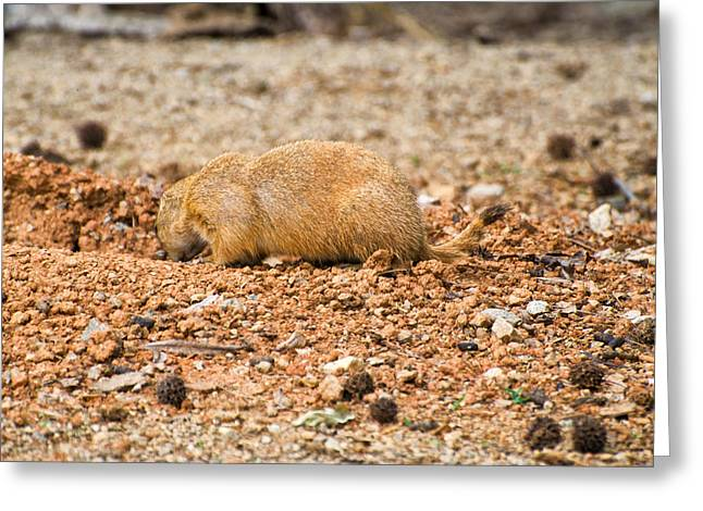 Pictures Of Dogs Greeting Cards - Prairie Dog into Greeting Card by Chris Flees