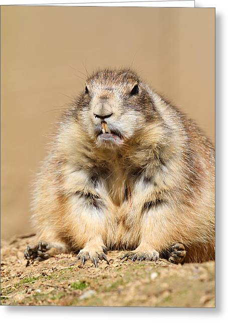 Prairie Photographs Greeting Cards - Prairie Dog - National Zoo - 011311 Greeting Card by DC Photographer