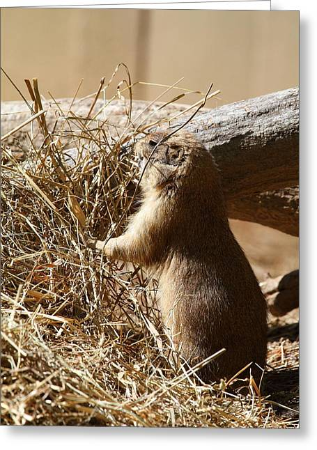 Prairie Greeting Cards - Prairie Dog - National Zoo - 01133 Greeting Card by DC Photographer