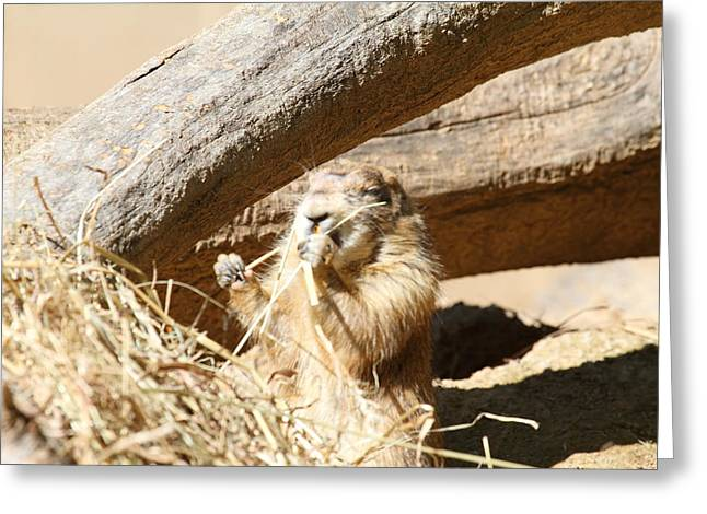 Prairie Greeting Cards - Prairie Dog - National Zoo - 01136 Greeting Card by DC Photographer