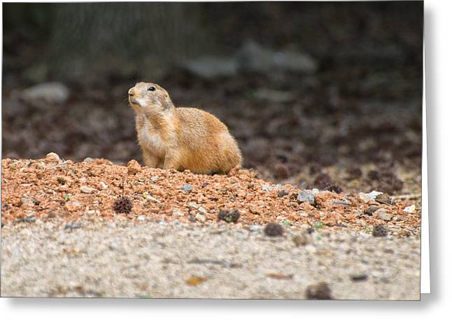 Pictures Of Dogs Greeting Cards - Prairie Dog on alert  Greeting Card by Chris Flees