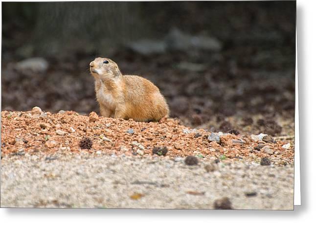 Prairie Dogs Greeting Cards - Prairie Dog on alert  Greeting Card by Chris Flees