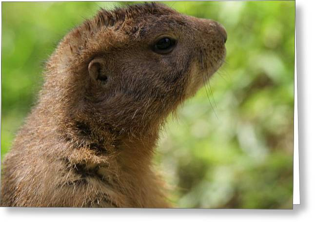 Squirrel Greeting Cards - Prairie Dog Portrait Greeting Card by Dan Sproul
