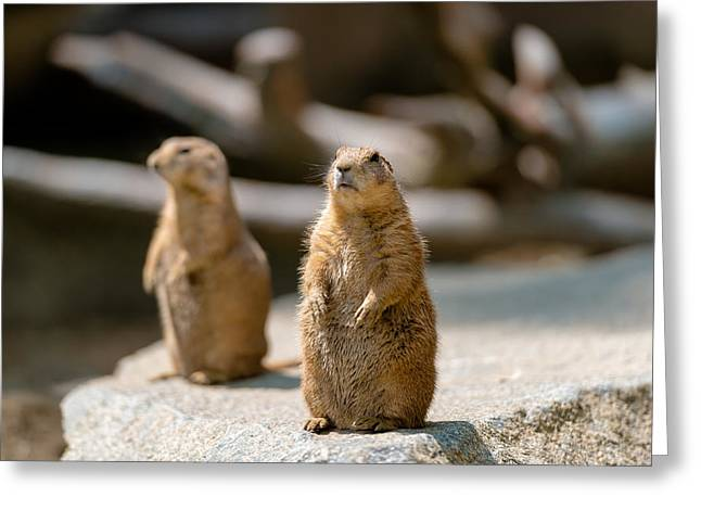 Southwick Greeting Cards - Prairie Dog Greeting Card by Santosh Tuladhar