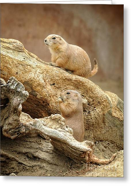 Prairies Photographs Greeting Cards - Prairie Dogs Greeting Card by HD Connelly
