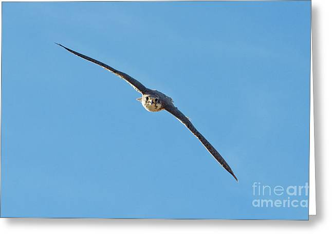 Falcon Hunting Greeting Cards - Prairie Falcon In A Dive Greeting Card by Anthony Mercieca