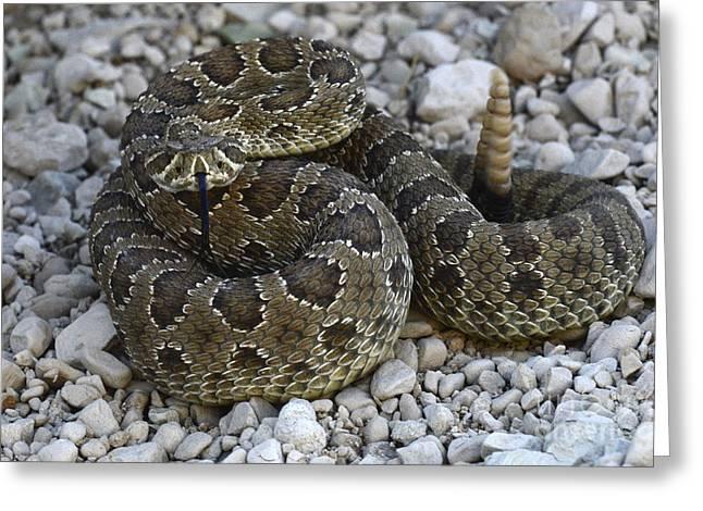 Rattlesnakes Greeting Cards - Prairie Rattlesnake South Dakota Badlands Greeting Card by Bob Christopher