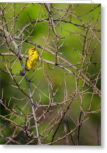 Warbler Photographs Greeting Cards - Prairie Warbler Greeting Card by Bill  Wakeley