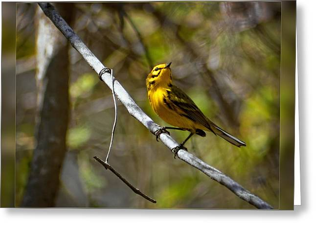 Beautiful Creek Greeting Cards - Prairie Warbler I Greeting Card by Dawn Currie