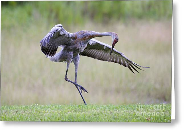 Cranes In Florida Greeting Cards - Prancer Greeting Card by Carol Groenen