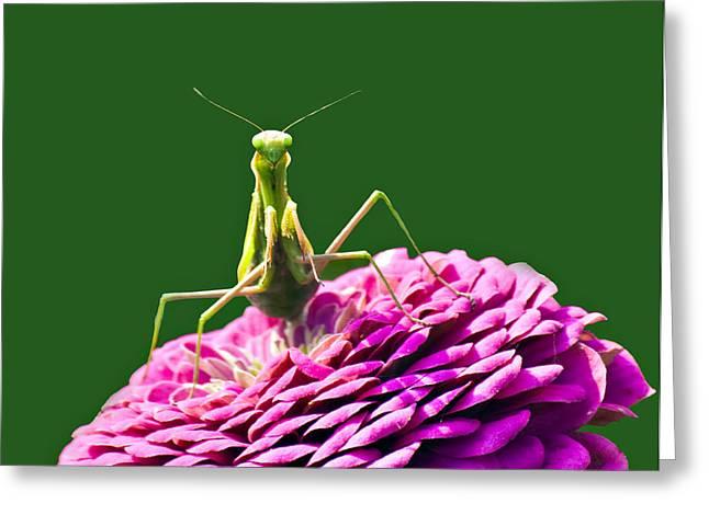 Zinna Greeting Cards - Praying Mantis Greeting Card by David Simons