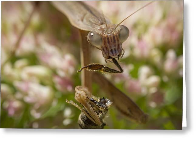 Mantid Greeting Cards - Praying Mantis Gorges Itself Greeting Card by Jean Noren