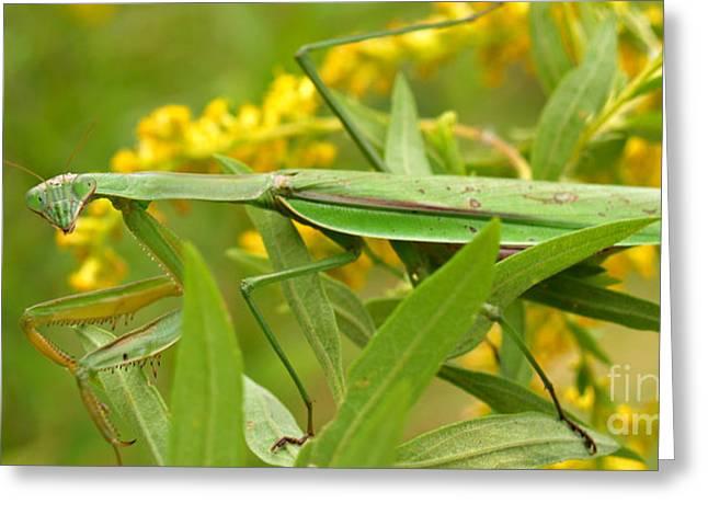 Mantid Greeting Cards - Praying Mantis in September Greeting Card by Anna Lisa Yoder