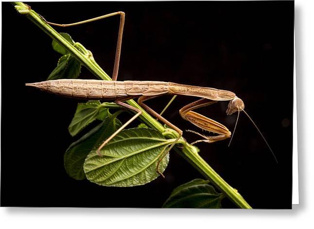Praying Mantis Greeting Cards - Praying Mantis  Greeting Card by Jean Noren