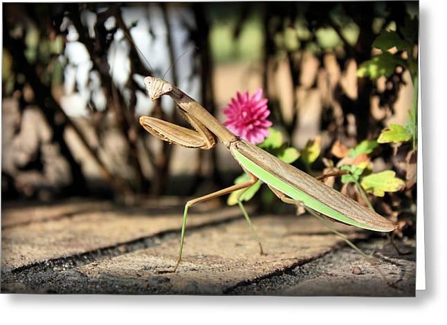 Praying Mantis Greeting Cards - Praying Mantis Greeting Card by Kristin Elmquist