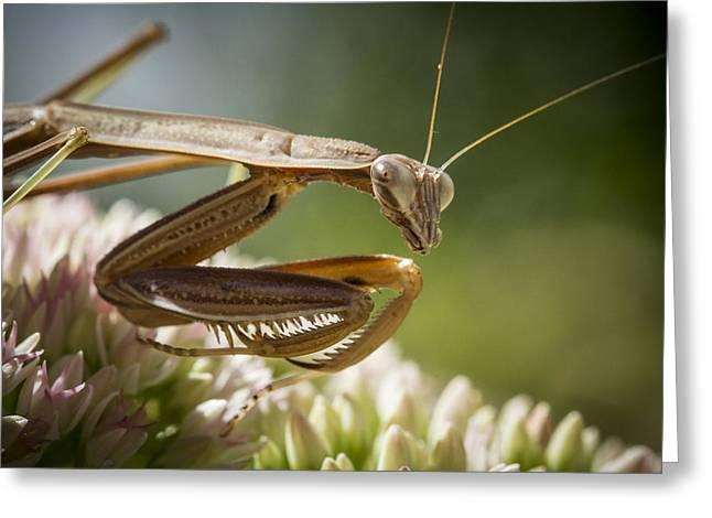 Mantises Greeting Cards - Praying Mantis Looking Around Greeting Card by Jean Noren