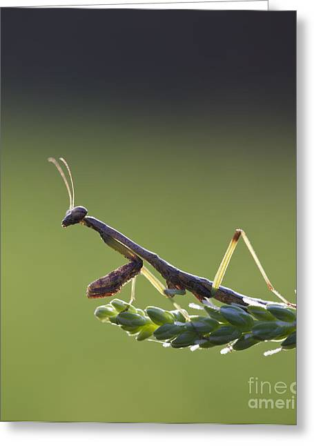 Praying Mantis Macro In The Sunlight Greeting Card by Brandon Alms