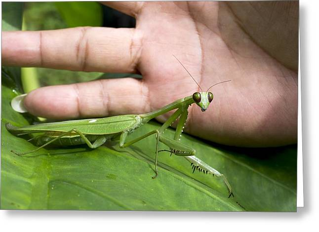 Praying Hands Greeting Cards - Praying mantis Greeting Card by Science Photo Library