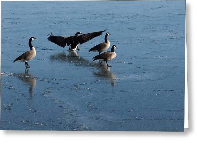 Precarious Walk On The Ice - Canada Geese Lake Ontario Toronto Greeting Card by Georgia Mizuleva