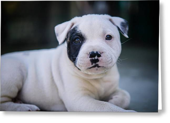 Bully Greeting Cards - Precious pup Leo the Staffy Greeting Card by Henry Inhofer